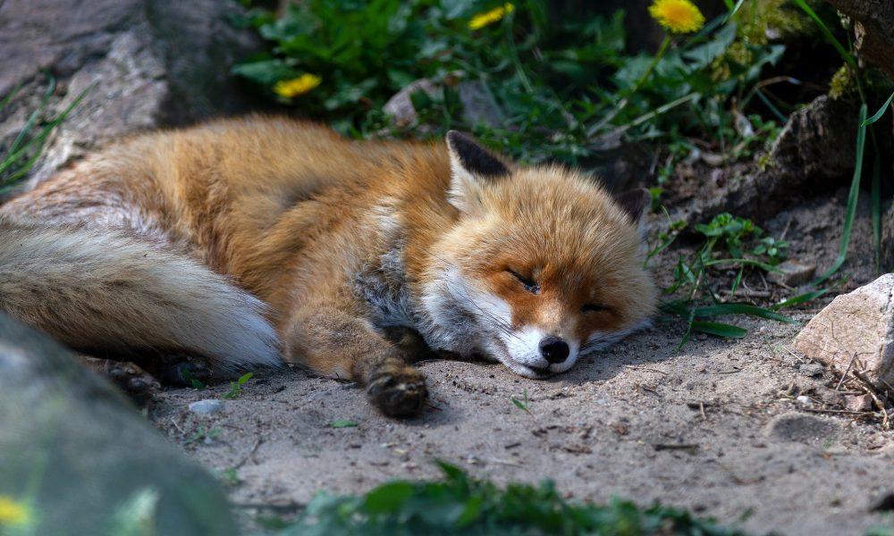 Liegender Fuchs